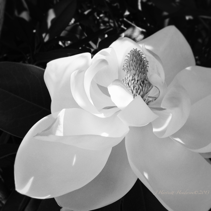Shaved Butter Magnolia Petals on a Hot Day by Jennifer Hartnett-Henderson ©2013