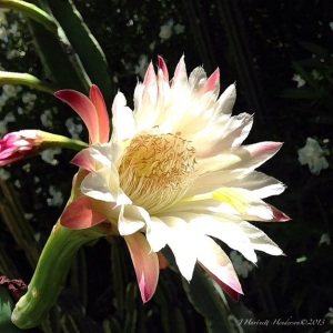 Cactus Flower by Jennifer Hartnett-Henderson ©2013