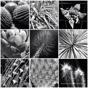 Cacti from the Ruth Bancroft Garden by Jennifer Hartnett-Henderson ©2013