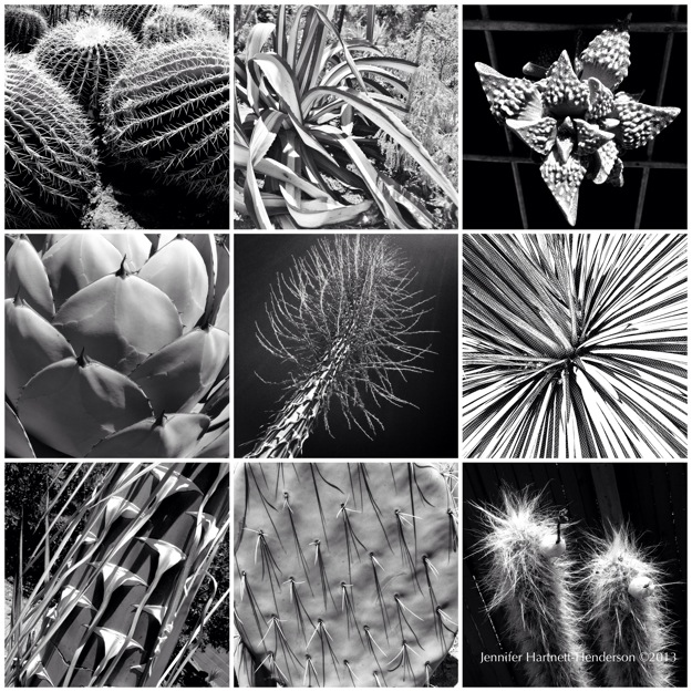 Cacti from the Ruth Bancroft Garden by Jennifer Hartnett-Henderson ©2013