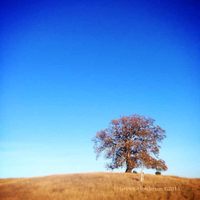 Lone Oak at Arastradero Open Space