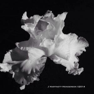 White Iris in Full Bloom by Jennifer Hartnett-Henderson ©2014