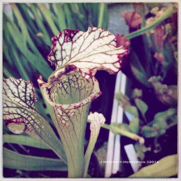 Carnivorous Plant by Jennifer Hartnett-Henderson ©2014