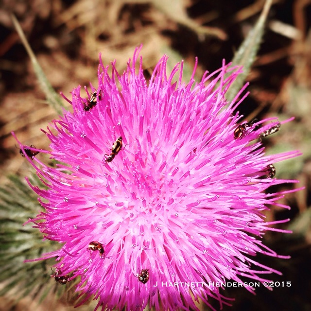 Busy Beetles on Thistle by Jennifer Hartnett-Henderson ©2015