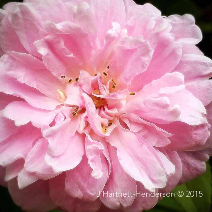 I Know Where the Pink Roses Are by Jennifer Hartnett-Henderson © 2015